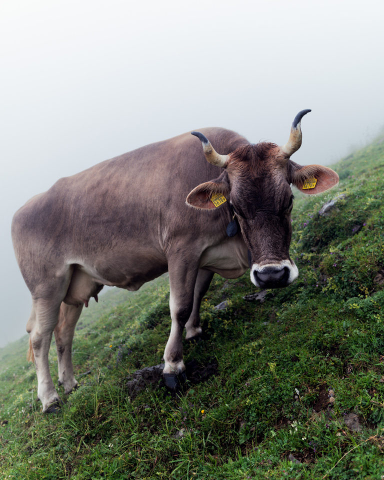 Switzerland cow in moody weather