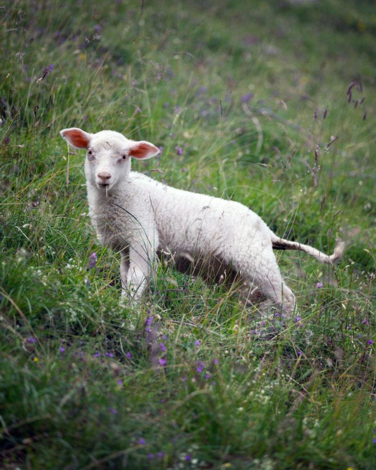 Switzerland sheep in Alpstein